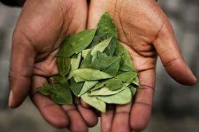 Coca leaves