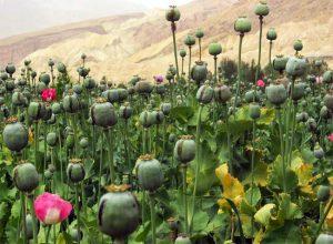 Cultivo de opio en Afganistán