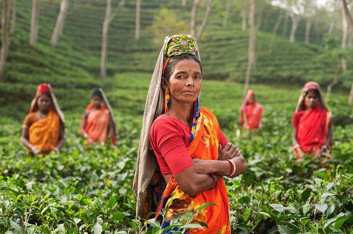 Femmes dans un champ de thé (Inde)